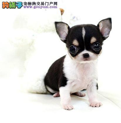 极品 吉娃娃犬 保证 纯种健康 CKU国际认证犬舍