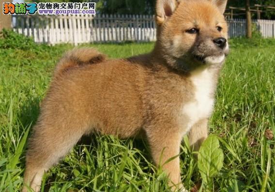 武汉出售柴犬公母都有品质一流可签合同刷卡