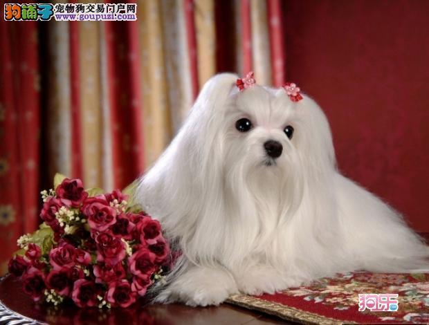 天津实体店低价促销赛级西施犬幼犬喜欢的别错过