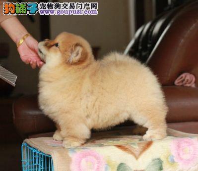 北京松狮犬 松狮犬舍 专业繁殖松狮犬 赛级松狮