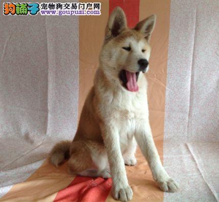 秋田犬 秋田犬舍 北京最大的秋田犬舍 专业繁育高品质