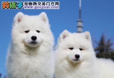 纯种萨摩耶幼犬 找新家了 天使的微笑