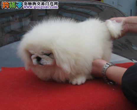 出售纯种可爱的京巴幼犬健康保证品质一流