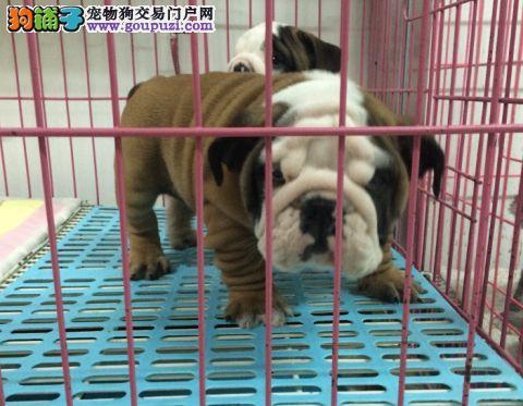 憨憨胖胖的斗牛犬宝宝出售 实物拍摄