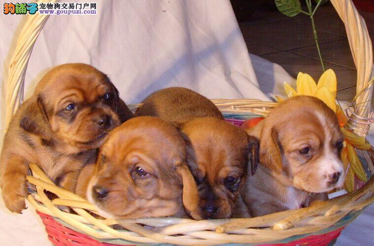 高品质赛级小腊肠 幼犬三个月驱虫免疫做完待售