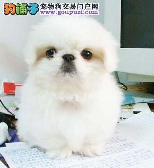 出售纯种漂亮的宫廷京巴犬 健康质保 签订购犬合同