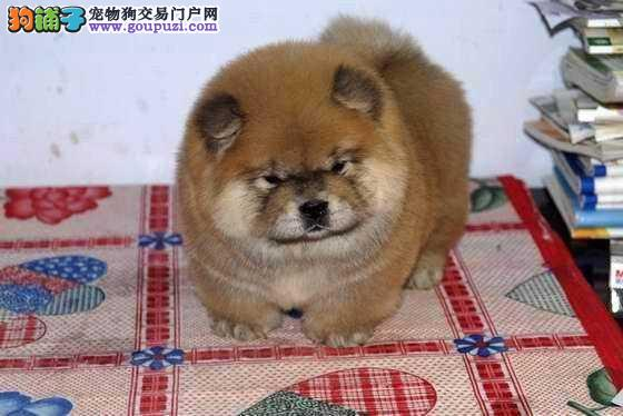 纯种松狮犬出售 肉嘴松狮犬 颜色齐全 公母都有
