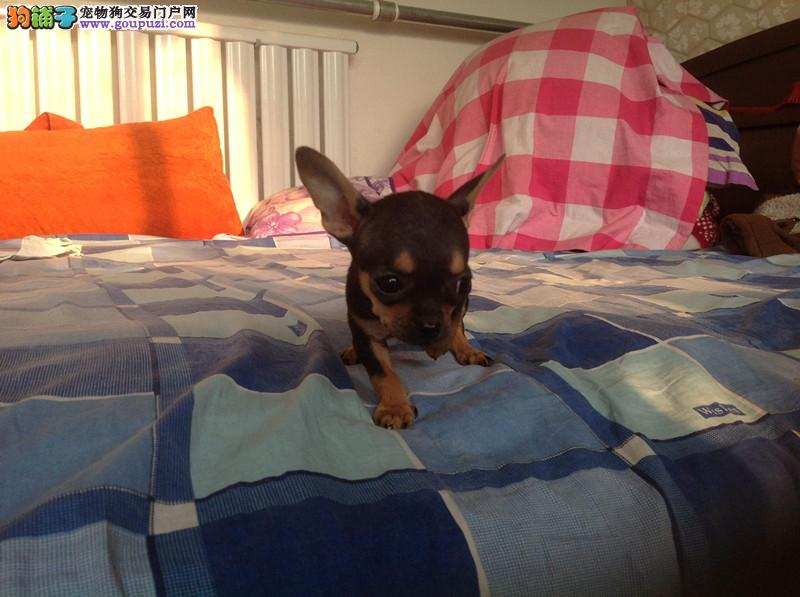 精品吉娃娃幼犬,保证纯度保证健康,保证血统