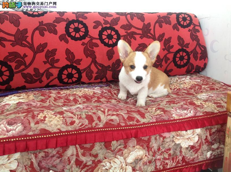 顶级 柯基。犬舍直销、让顾客买的优惠、放心和纯种