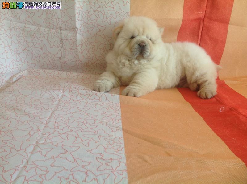 北京人繁殖纯种松狮犬 来犬舍可看到狗的父母 质量第一