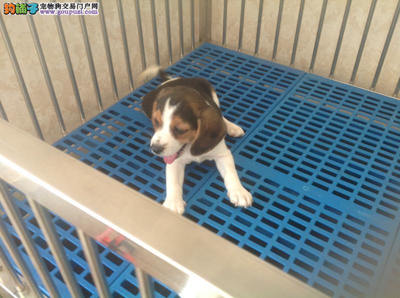 纯种极品纯种比格幼犬特价出售 纯种健康的幼犬宝宝