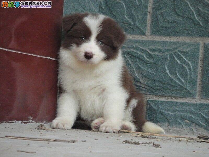 出售聪明边境牧羊犬高品质高质幼犬