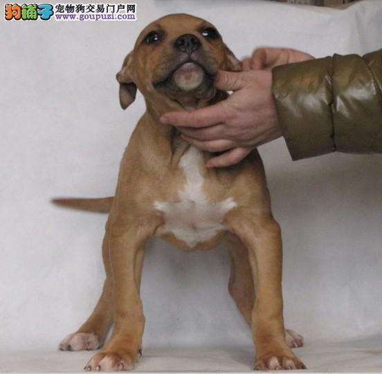 纯种比特犬幼犬 金牌店铺品质第一 购犬可签协议