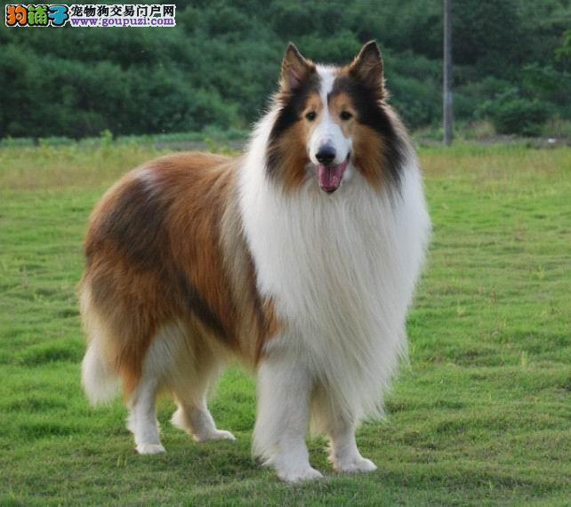 犬舍专业繁殖高品质苏格兰 你的不二选择