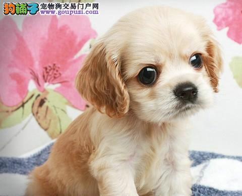 我家养可卡幼犬出售可上门包健康 DDMM都有欢迎选购