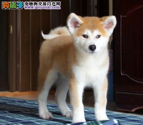 CKU认证犬舍 精品秋田 签署购犬协议