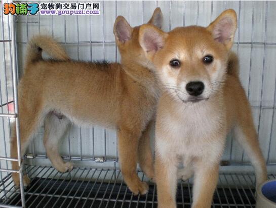 宠物日本柴犬赛级柴犬精品微小柴犬出售品质健保签协议