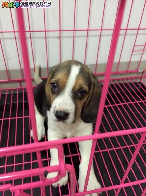 出售纯种米格鲁比格犬宝宝包纯种及健康30天
