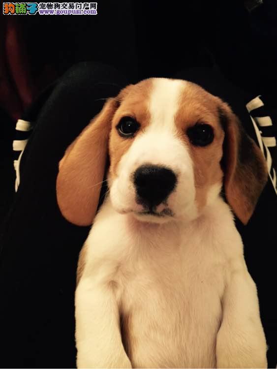 出售赛级比格幼犬 签订售后协议 健康质保