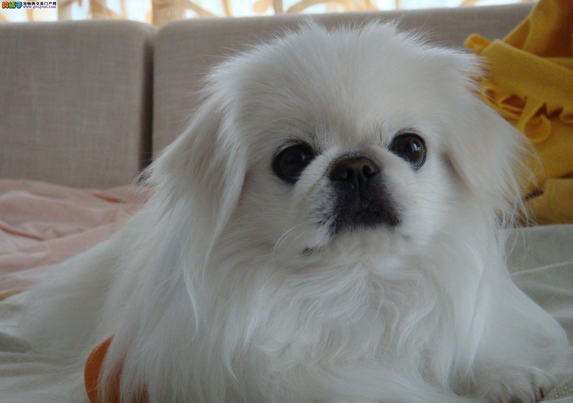 京巴长春最大的正规犬舍完美售后品质一流三包终身协议