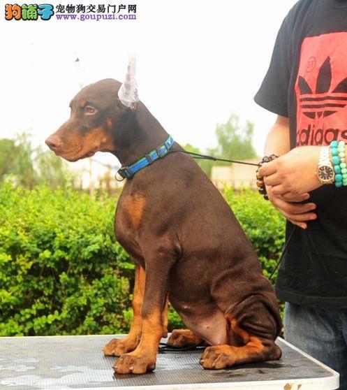 出售杜宾犬健康养殖疫苗齐全喜欢微信咨询