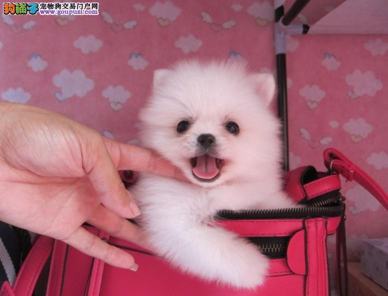 CKU犬舍认证郑州出售纯种银狐犬签正规合同请放心购买