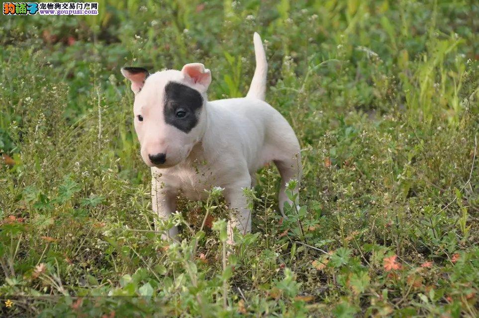 高品质 纯血统 牛头梗犬吧 幼犬出售