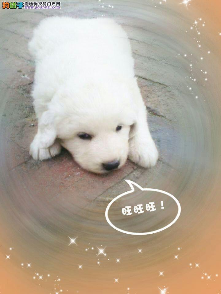 大白熊幼崽待售,喜欢的朋友欢迎咨询15546000585