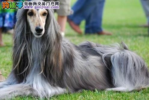 权威机构认证犬舍 专业培育阿富汗猎犬幼犬国际血统证书