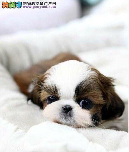 出售多种颜色纯种西施犬幼犬终身质保终身护养指导