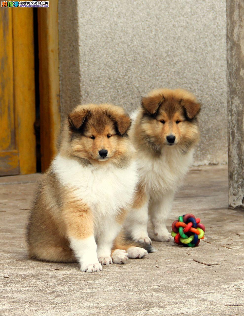 纯种苏格兰牧羊犬带证书出售保纯保健康可签协议