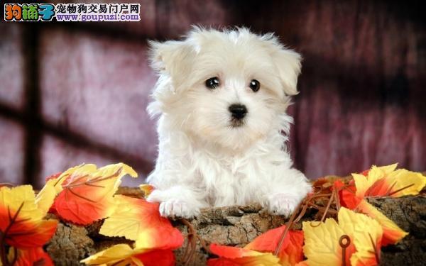 纯种西高地幼犬 低价出售中 可上门选购