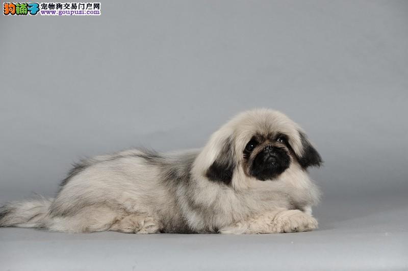 纯种犬专业养殖基地出售高品质京巴宝宝血统纯正质保