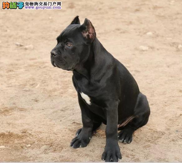 买纯种 冠军级卡斯罗  三年联保签协议 赠狗狗户口