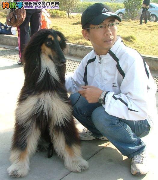 自家狗场繁殖直销阿富汗猎犬幼犬签署质保合同
