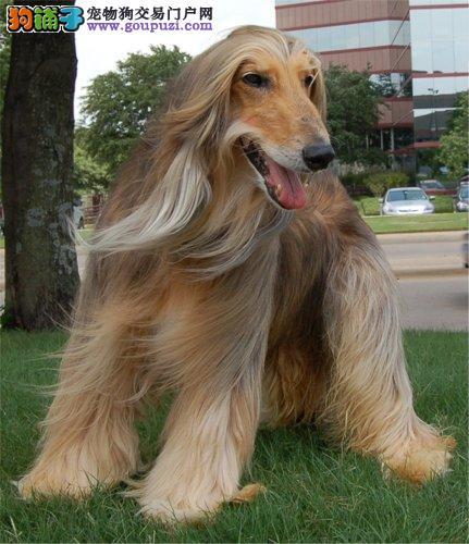 阿富汗猎犬最大的正规犬舍完美售后签署各项质保合同