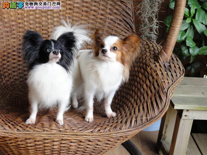 出售纯种(蝴蝶犬)幼犬 健康保证质量保证