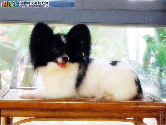 实体专卖店出售纯种蝴蝶犬 可上门挑选 包血统健康