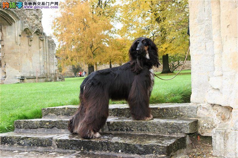 出售多种颜色南京纯种阿富汗猎犬幼犬南京市内免费送货