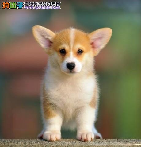 犬社出售双色 三色柯基犬,健康可爱可签协议。