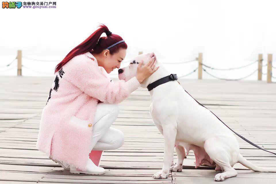 公母均有的伊春杜高犬找爸爸妈妈赛级品质保障