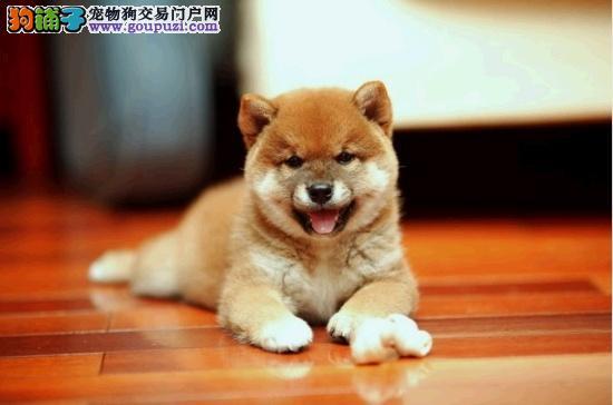 云南哪里买狗的地方,云南什么地方卖狗柴犬