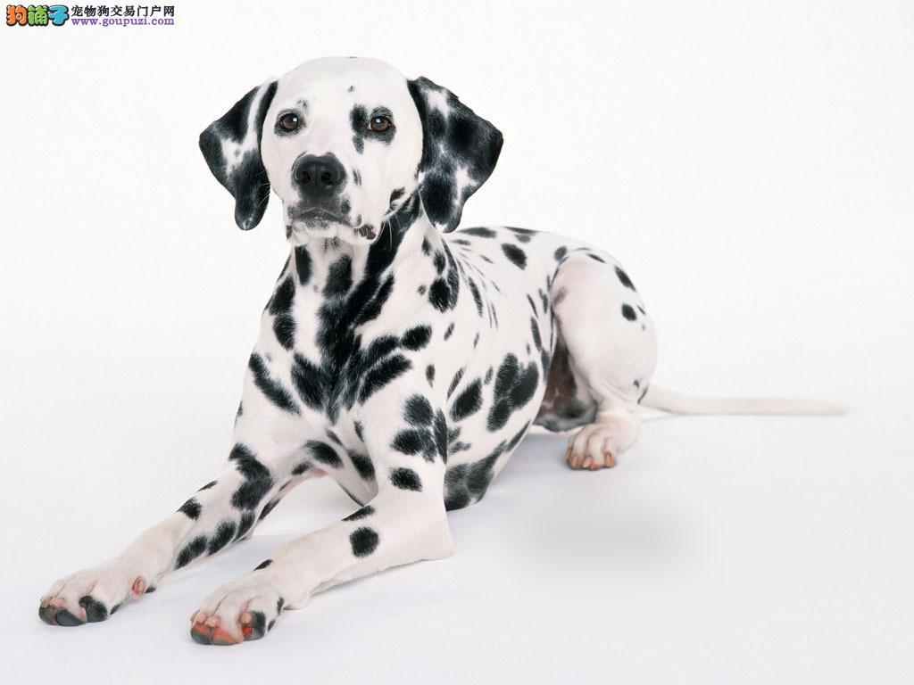 精品 斑点幼犬CKU认证血统 质量三包 完美售后