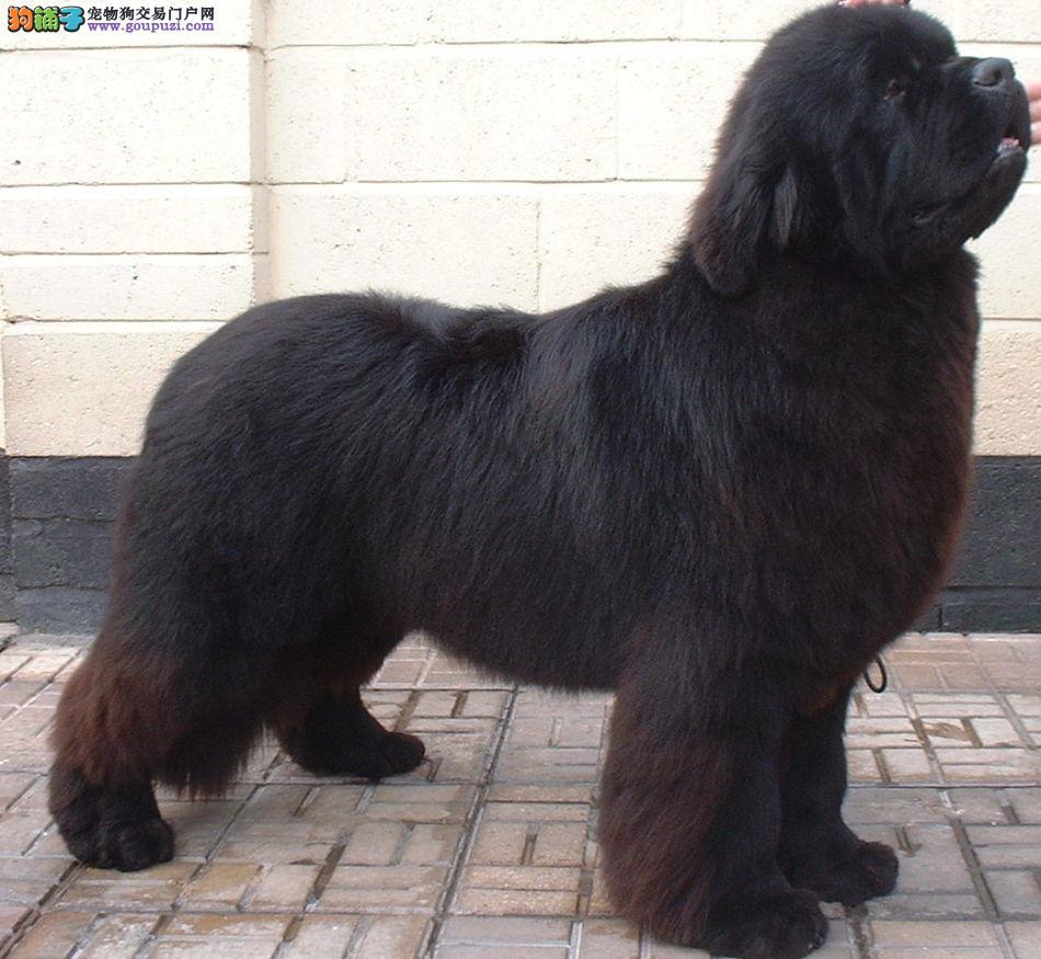 赛级品相纽芬兰犬幼犬低价出售终身售后协议
