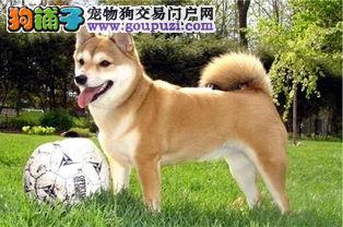 纯种日本柴犬 2到4个月幼犬 可爱的小精灵
