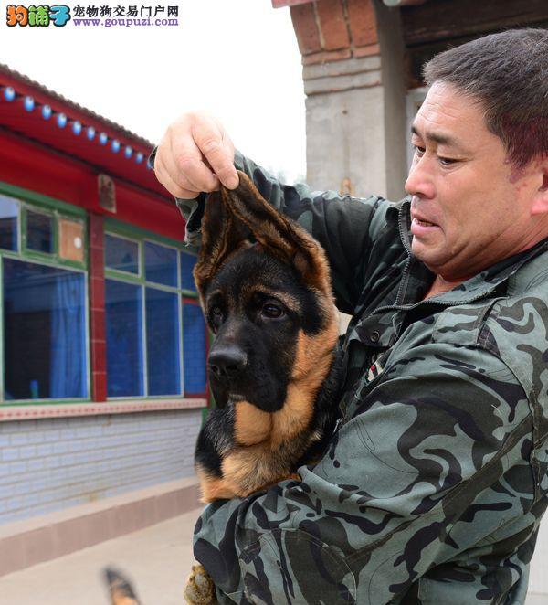 西安出售极品狼狗幼犬完美品相全国空运发货