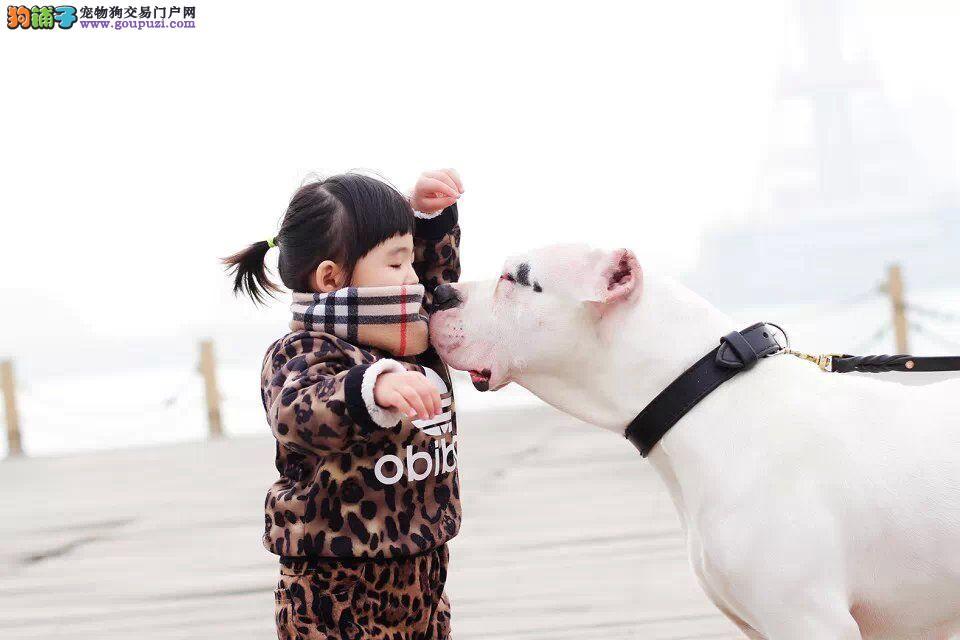 CKU认证犬舍 专业出售极品 杜高犬幼犬下单有礼全国包邮