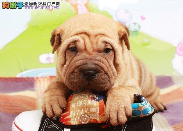 百分百健康纯种沙皮狗武汉热卖中购犬可签协议