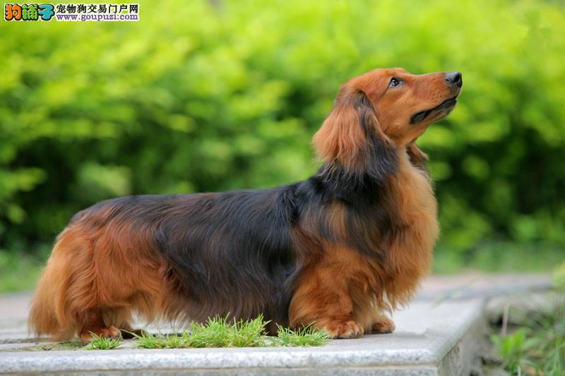 兰州出售极品腊肠犬幼犬完美品相全国质保全国送货