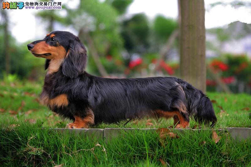 CKU犬舍认证兰州出售纯种腊肠犬微信选狗直接视频
